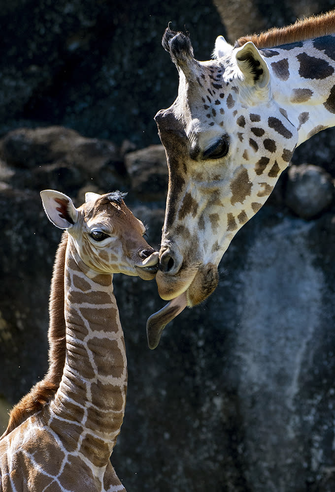 In this photo provided by Zoo Miami, an unnamed male calf, born on Friday, April 2, 2021, appears with his mother at the zoo on Monday, April 5 in Miami. (Ron Magill/Zoo Miami via AP)