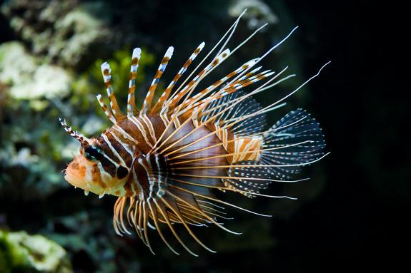 The highly invasive lionfish is easily available through aquarium and internet sales and represents a potential threat for California waters.