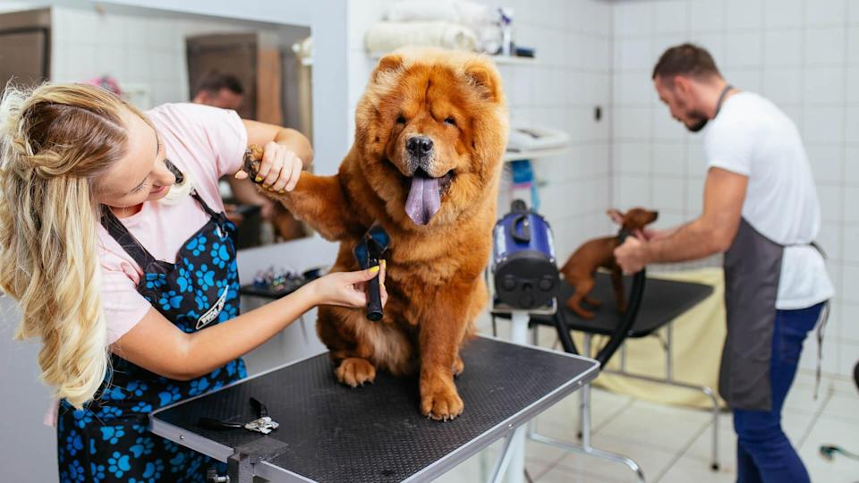 Chow -chow dog at grooming salon.