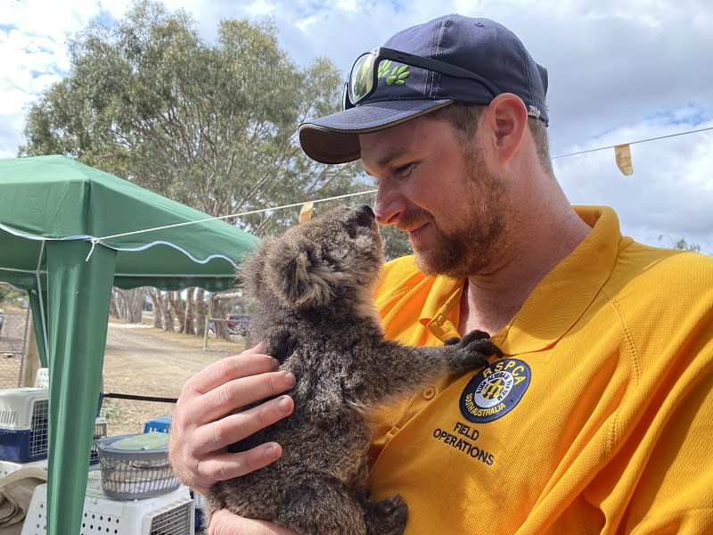 Animal handler Justin is working with Andrea Lewis and Lauren on Kangaroo Island. Source: RSPCA South Australia