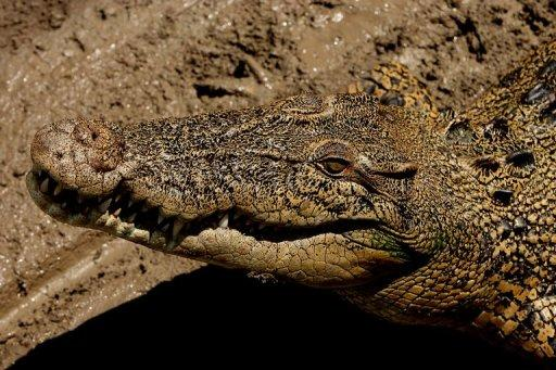 An saltwater crocodile lies in the sun on the banks of the Adelaide river