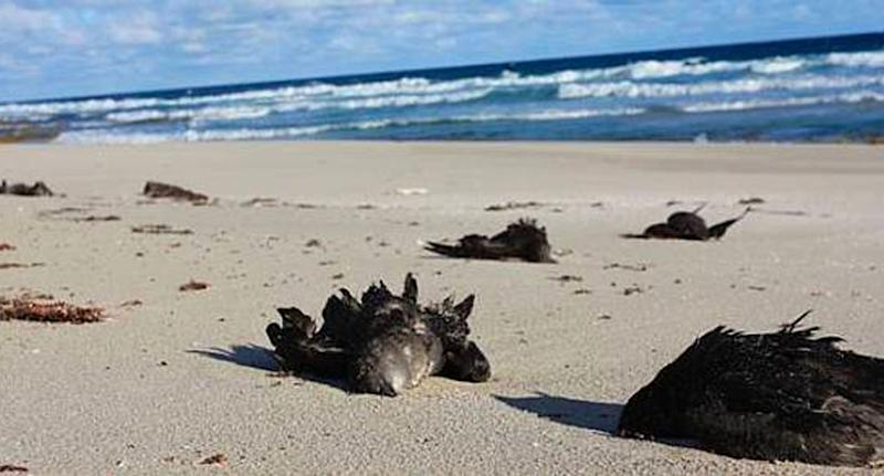 Dead shearwaters scattered across a NSW beach.