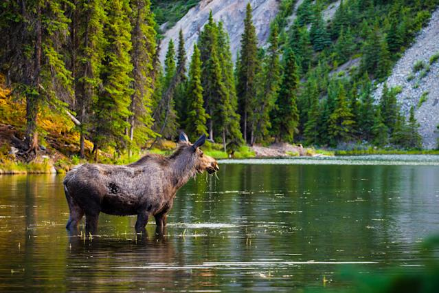 Moose Standing In Lake At Forest