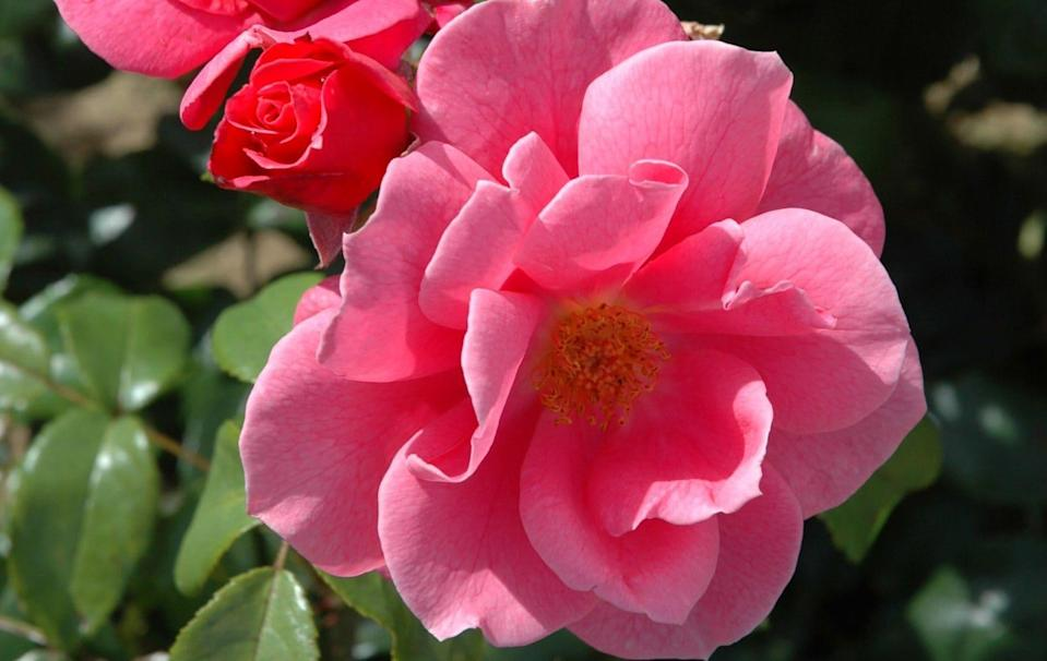 'Irene R' is a bee-friendly shrub rose with informal, mid-pink flowers - Peter Beales Roses