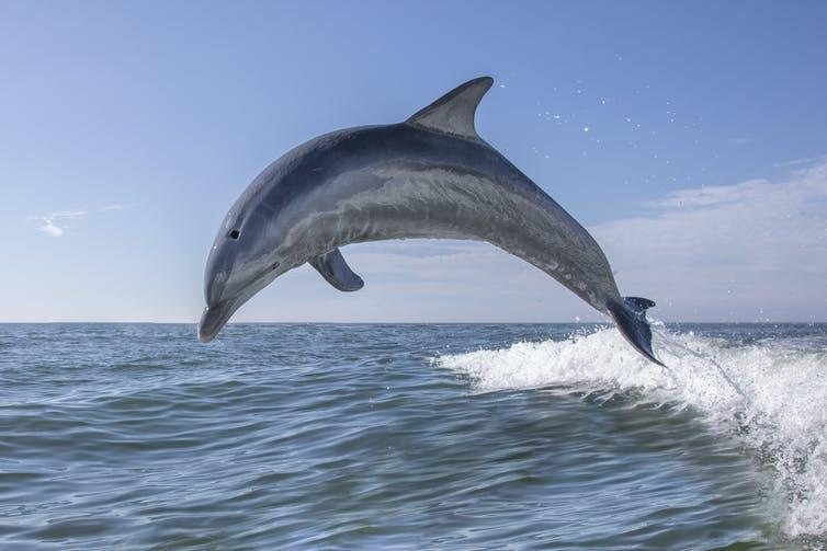 A bottlenose dolphin jumping out of the sea.