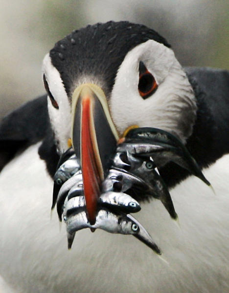 FILE-In this file photo made in July 2007 an Atlantic puffin with a beak crammed with hake makes its way to a burrow to feed its chick, Monday July 9, 2007, on Eastern Egg Rock, Maine. Puffins raise one chick per year. Scores of puffins were found washed ashore in New England and floating dead in waters off eastern Maine this past winter, with necropsies suggesting they starved to death. (AP Photo/Robert F. Bukaty,files)