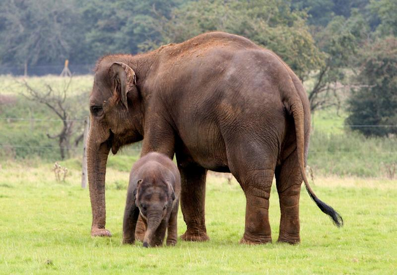 Asian elephants at Whipsnade Zoo in Bedfordshire. (Photo: PA)