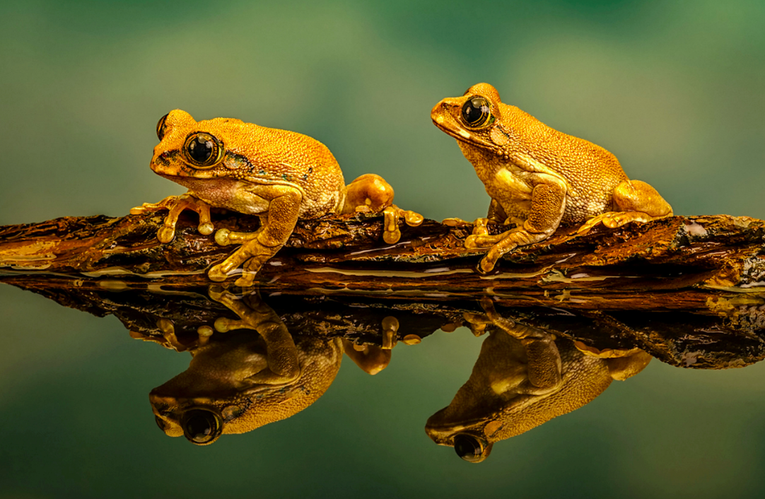 <p>These peacock tree frogs are taking life easy by the water. (Michelle Howell/SWNS) </p>