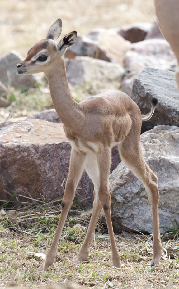 Gangly Gerenuk Born at Denver Zoo