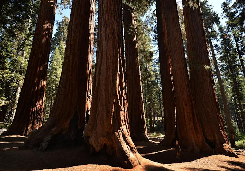 The Rough Fire, the largest of more than a dozen burning across California, has edged closer to the US state's famed Sequoia giant trees in recent days with firefighters scrambling to protect them (AFP Photo/Mark Ralston)