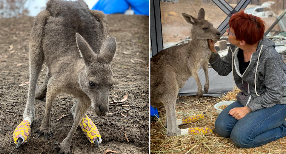 Left - Clover standing on bare ground with her feet bandaged. Right - Rae Harvey and Clover in a tent, there is hay on the ground.