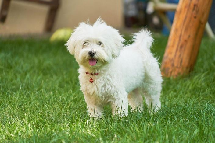 """<p>Maltese are known for their compact size (they're usually only 4 lbs) and their very energetic personalities. According to Hill's Pet, daily brushing of their <a href=""""https://www.hillspet.com/dog-care/dog-breeds/maltese"""" rel=""""nofollow noopener"""" target=""""_blank"""" data-ylk=""""slk:white coat"""" class=""""link rapid-noclick-resp"""">white coat</a> is recommended to prevent matting.</p>"""