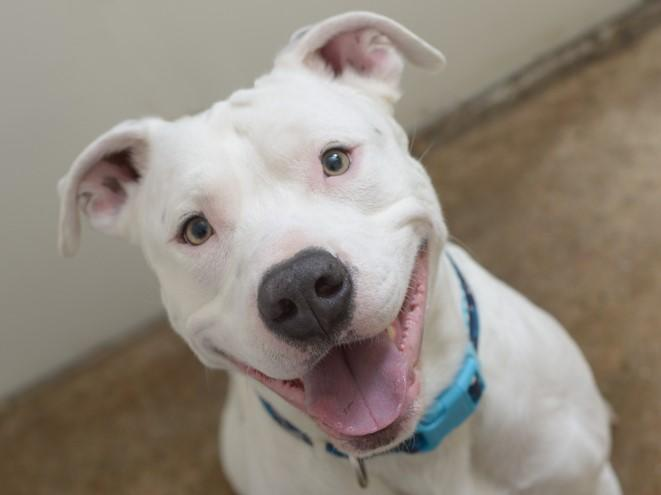 An American Pit Bull Terrier: Getty Images/iStockphoto