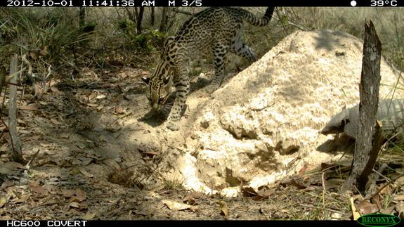 An ocelot and a six-banded armadillo visited the burrow of a giant armadillo at the same time, and the little armadillo was scared off.