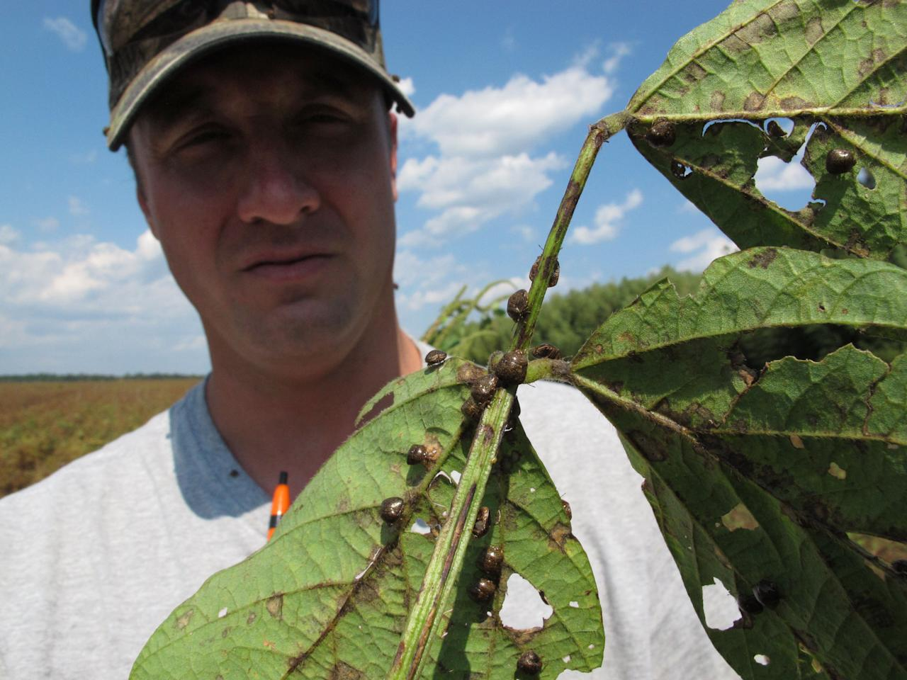 """In this Sept. 30, 2011 photo, Clemson University entomologist Jeremy Greene shows a soybean plant from a test plot in Blackville, S.C. The plant is covered in """"kudzu bugs,"""" an Asian pest that is wreaking havoc on U.S. soybean crops. (AP Photo/Allen Breed)"""