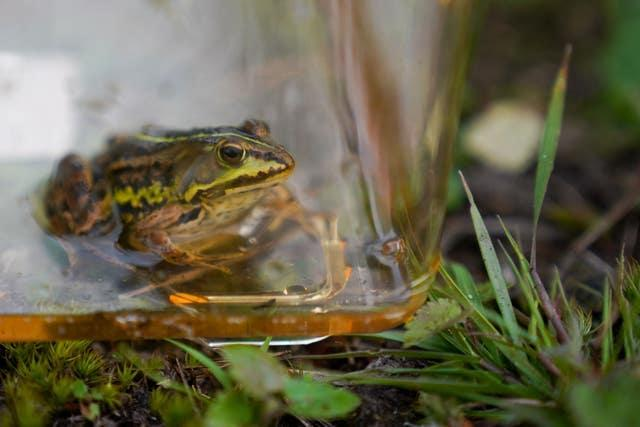 Northern pool frogs reintroduction
