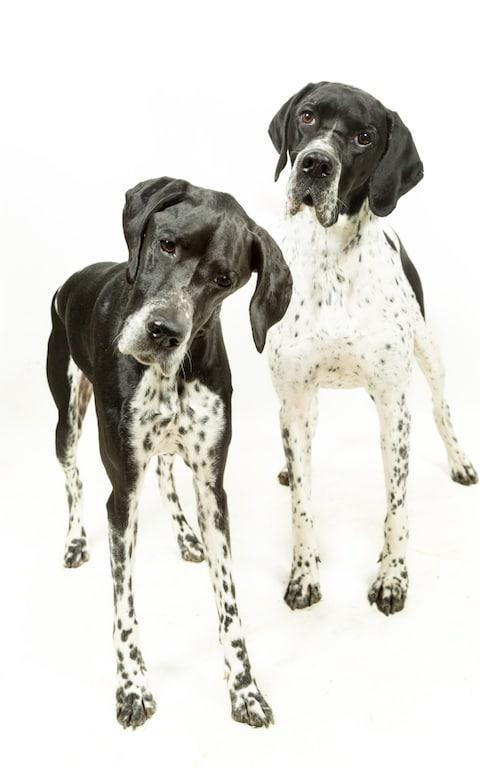 Looking for a home? English Pointers, the least wanted breed of dog in the UK - Credit: David Burgess / Alamy Stock Photo