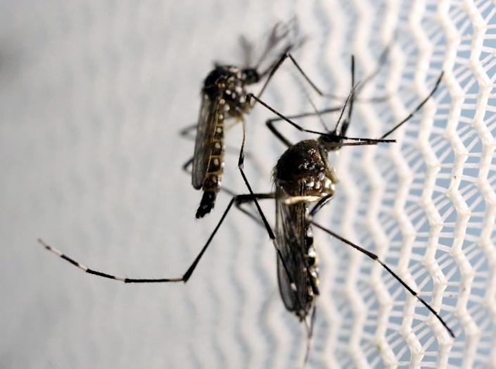Aedes aegypti mosquitoes are seen in Oxitec laboratory in Campinas, Brazil, Feb. 2, 2016. (Photo: Paulo Whitaker/Reuters)