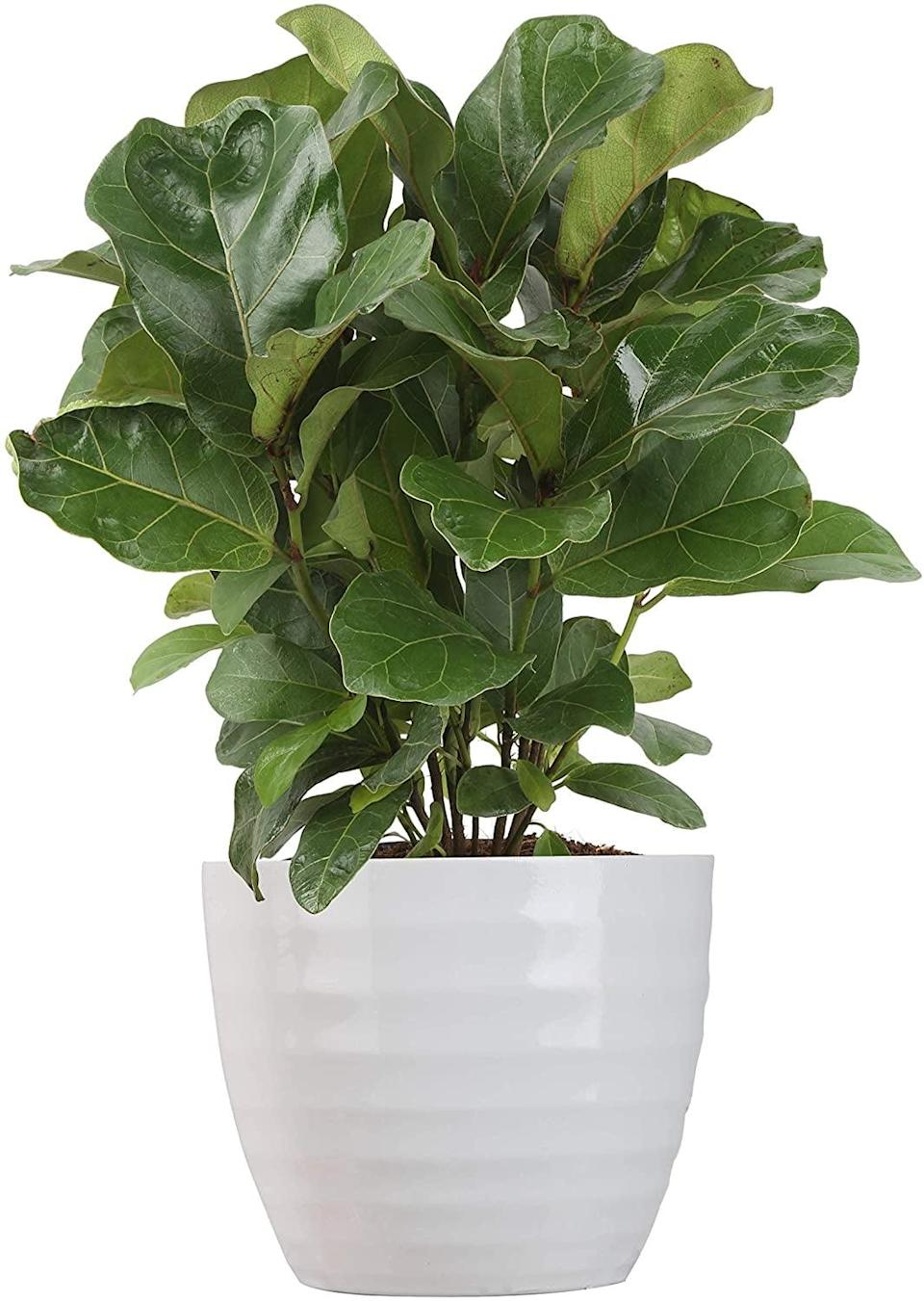 <p>Add a little green to her home with the <span>Costa Farms Ficus Lyrata, Little Fiddle Bambino Indoor Plant</span> ($34). If she loves plants, she'll appreciate this gift!</p>