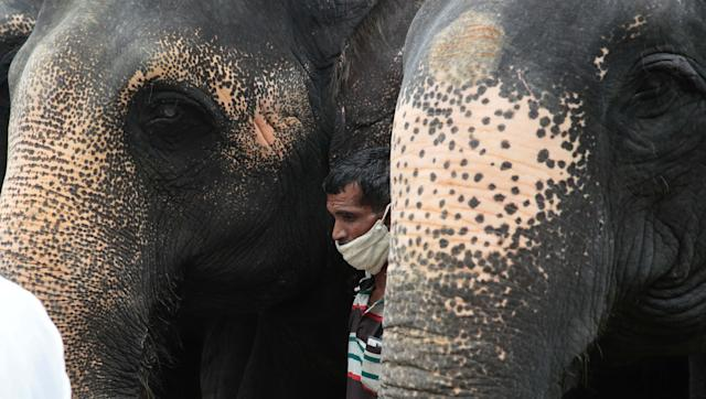 JAIPUR, INDIA - JUNE 4: A group of elephants with their mahout during a remembrance ceremony for the female elephant that was killed in Kerala, at Hathi Gaon on June 4, 2020 in Jaipur, India. The pregnant pachyderm died last week while standing in water after being fatally wounded by eating a firecracker laden pineapple. (Photo by Himanshu Vyas/Hindustan Times via Getty Images)