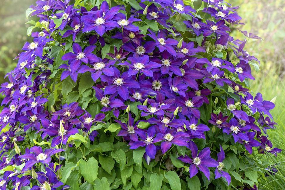 """<p>Clematis are a gorgeous, vining variety of flower that requires little maintenance aside from regular watering.</p><p><a class=""""link rapid-noclick-resp"""" href=""""https://go.redirectingat.com?id=74968X1596630&url=https%3A%2F%2Fwww.gettyimages.com%2Fphotos%2Fclematis%3Ffamily%3Dcreative%26license%3Drf%26phrase%3Dclematis%26sort%3Dmostpopular%23license&sref=https%3A%2F%2Fwww.womansday.com%2Fhome%2Fg36355297%2Fsummer-flowers%2F"""" rel=""""nofollow noopener"""" target=""""_blank"""" data-ylk=""""slk:Buy clematis seeds."""">Buy clematis seeds.</a></p>"""