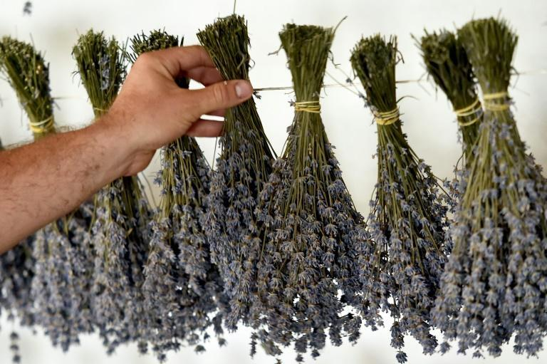 Lavender has won over growers in Moldova owing its success in dry climates