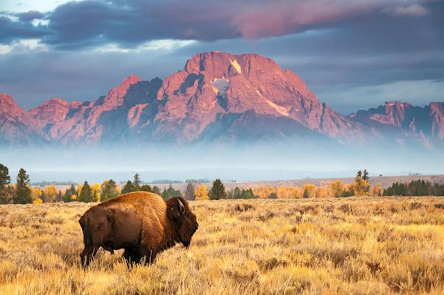 A bison stands in front of Mount Moran, north of Jackson Hole Wyoming