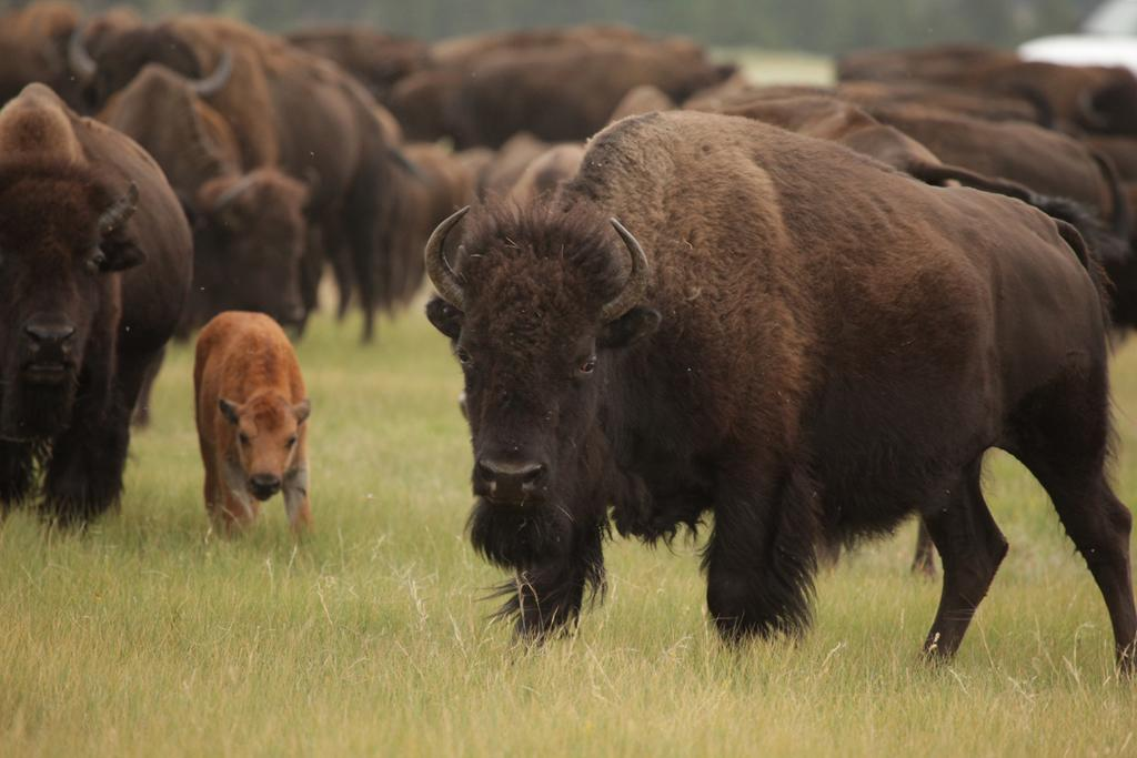 <b>Plains Bison</b> (Bison bison)<br>Custer National Park, South Dakota, USA<br><br>The well-trodden migration paths of Plains Bison were some of the earliest detectable trails in the American badlands and once traveled by Native Americans, settlers, and explorers.