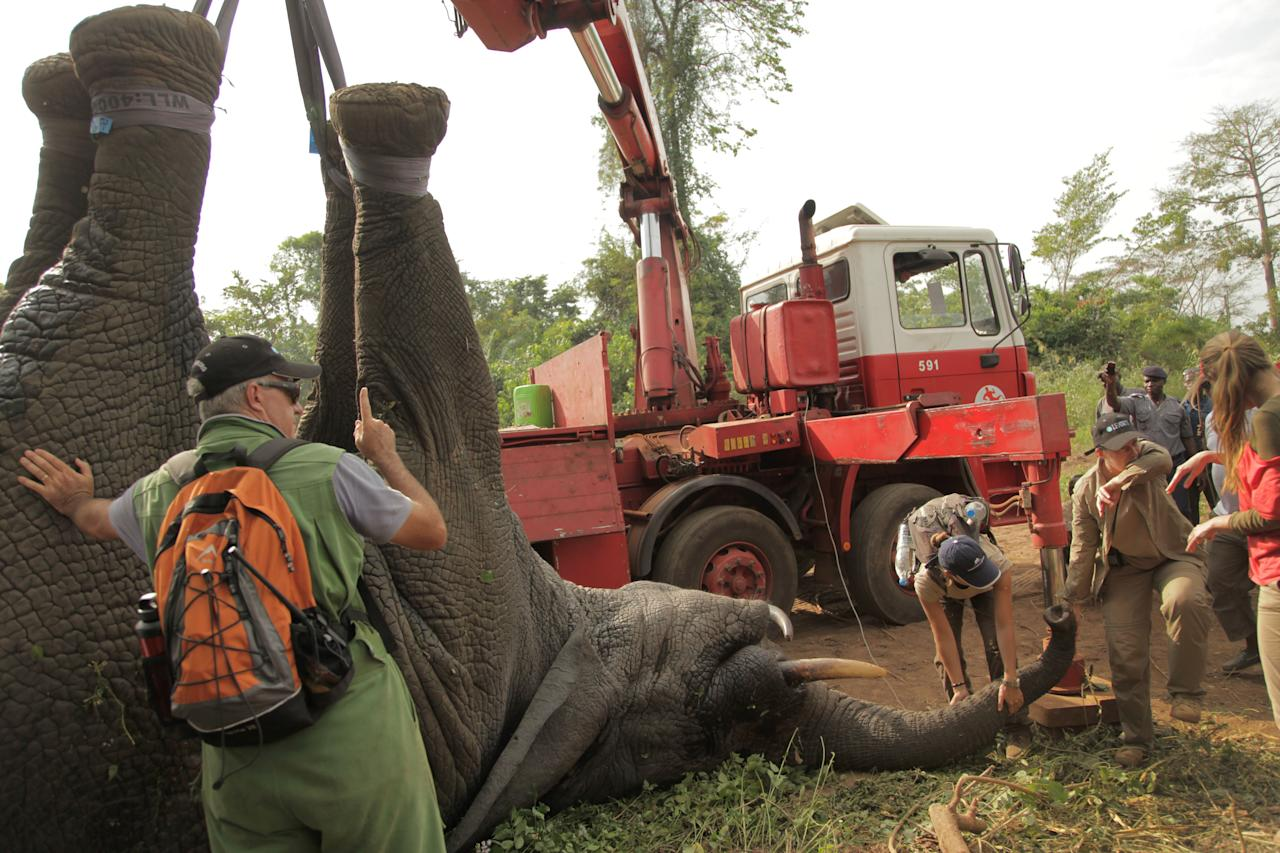 In this photo taken Monday, Jan. 20, 2014 and distributed by the International Fund for Animal Welfare, a tranquilized elephant is loaded onto a truck near the town of Daloa in western Ivory Coast. Conservationists are capturing and relocating elephants in Ivory Coast forced out of their traditional habitat by encroaching humans, in the first such operation attempted in Africa's forests. The International Fund for Animal Welfare this week began tranquilizing elephants outside the western town of Daloa, then locking them in a crate for the 10-hour drive to Assagny National Park on the southern coast. (AP Photo/IFAW)