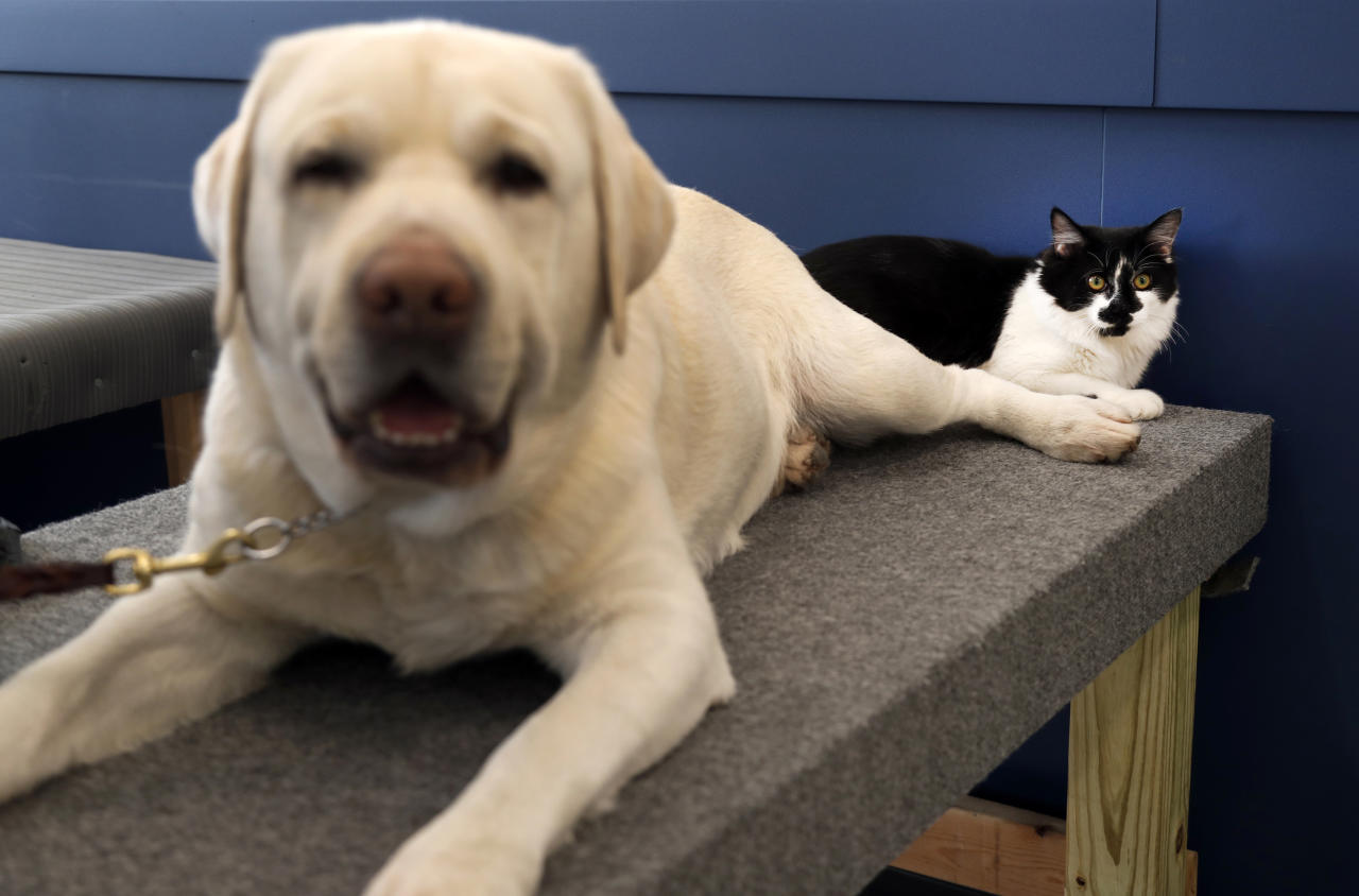 <p> In this Nov. 28, 2017, photo, D-O-G, a black and white cat with an unlikely name, lies next to a support dog in training at Support Dogs, Inc. in St. Louis. Officials from the facility took in the cat over the summer and say he plays a key role getting the dogs comfortable around other animals. He helps train canines for important jobs assisting people with disabilities. (AP Photo/Jeff Roberson) </p>
