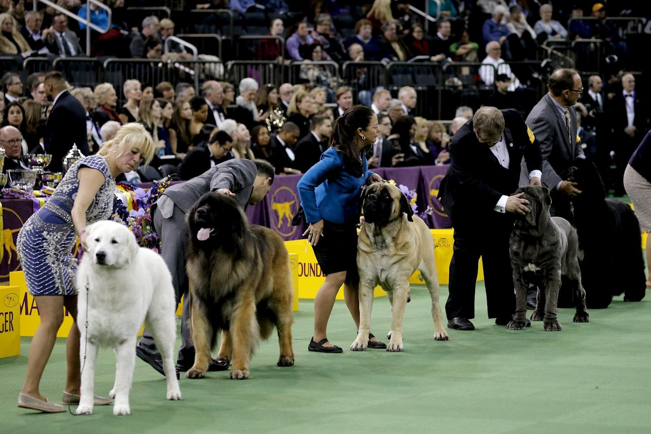 Westminster Dog Show  Working Breed