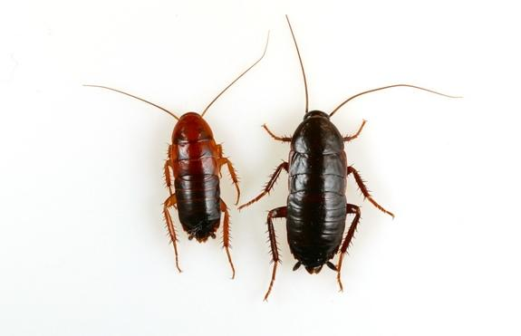 Nymph Turkestan cockroaches (left) and oriental cockroaches (right).