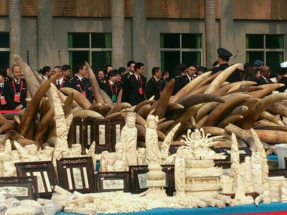Officials look on during a recent crush of illegal ivory in China.