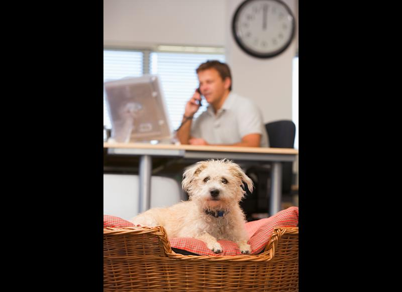 "A recent study in the <em>International Journal of Workplace Health Management</em> showed that <a href=""http://www.huffingtonpost.com/2012/04/01/bringing-dog-to-work-stress_n_1391420.html"" target=""_hplink"">bringing your dog to work</a> could help to lower office stress and boost employee satisfaction. ""Pet presence may serve as a low-cost, wellness intervention readily available to many organizations and may enhance organizational satisfaction and perceptions of support,"" study researcher Randolph T. Barker, Ph.D., a professor of management at Virginia Commonwealth University, said in a statement. ""Of course, it is important to have policies in place to ensure only friendly, clean and well-behaved pets are present in the workplace."" The study, which looked at the pet-friendly company Replacements, Ltd., showed that employees who brought their dogs in to work experienced <a href=""http://www.huffingtonpost.com/2012/04/01/bringing-dog-to-work-stress_n_1391420.html"" target=""_hplink"">decreases in stress</a> throughout the work day. Meanwhile, self-reported stress <em>increased</em> for people who didn't bring their dogs, and for those who don't have dogs."