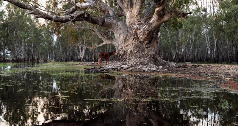 A stranded horse in a flooded part of the Barmah national park. Source: Murray Willaton/Facebook