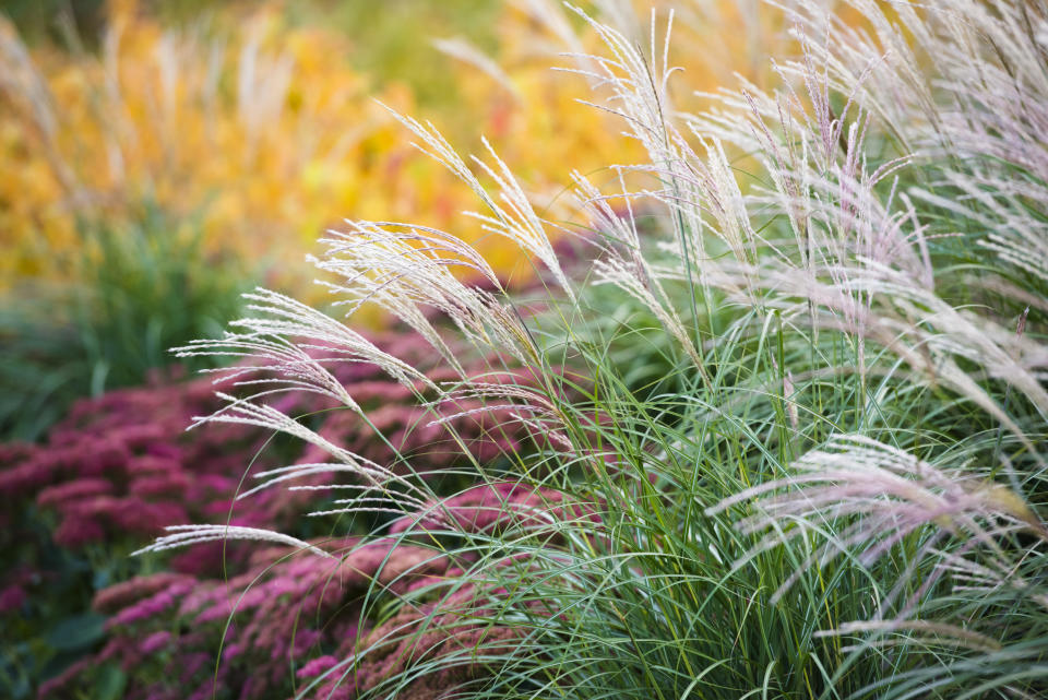 Grasses will feature in many displays