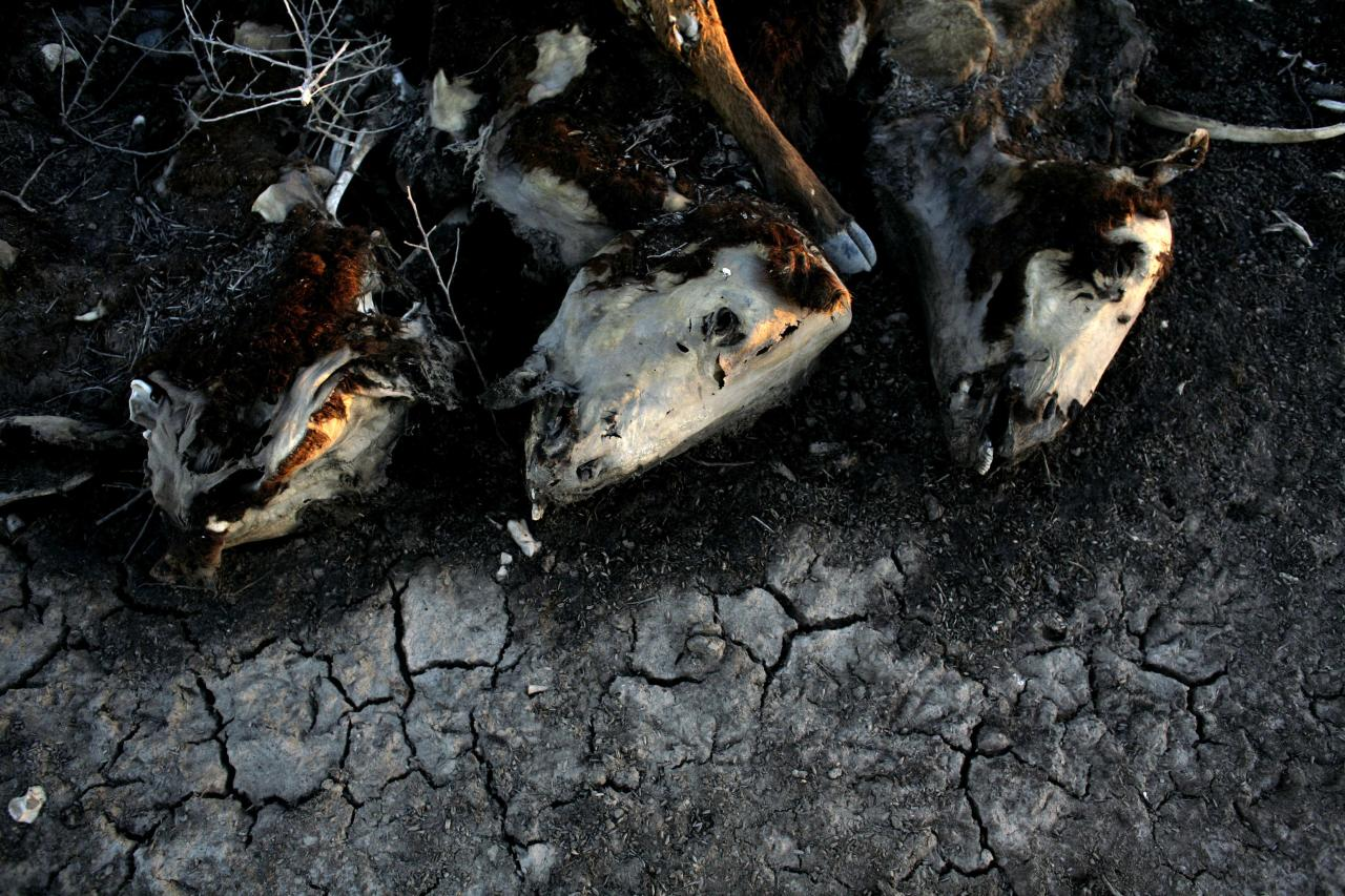 In this Jan. 20, 2009 file photo, cows lie dead on Hilda Schneider's farm in Stroeder, Argentina. Schneider lost around 500 cows in 2008 due to the drought. From Chile to Colombia to Mexico, Latin America has been battered recently by wildfires, floods and droughts. While leading climate scientists are unable to pin any single flood or heat wave solely on climate change, experts say the number of extreme weather events is increasing worldwide and the evidence suggests global warming is having an impact. (AP Photo/Natacha Pisarenko, File)