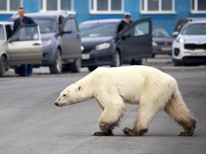 Polar Bear Russian town