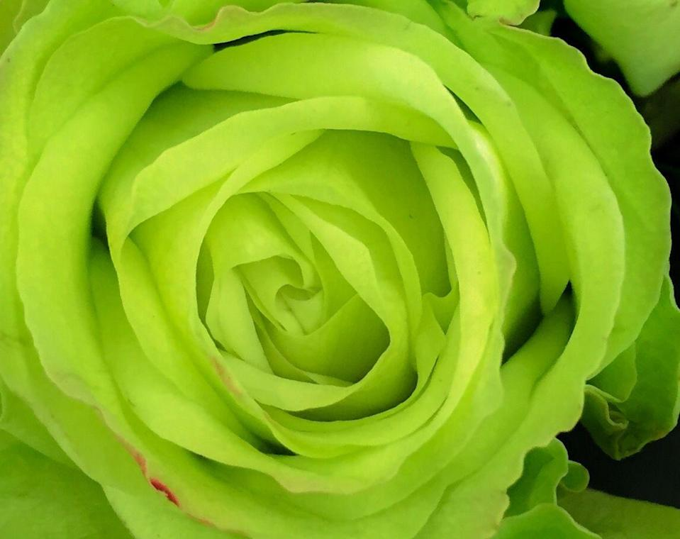 """<p>If both the petals and the stem take on a verdant shade, good news: Green means a <a href=""""http://www.passiongrowers.com/web/ot/colors.asp"""" rel=""""nofollow noopener"""" target=""""_blank"""" data-ylk=""""slk:&quot;constant rejuvenation of spirit.&quot;"""" class=""""link rapid-noclick-resp"""">""""constant rejuvenation of spirit.""""</a></p><p><a class=""""link rapid-noclick-resp"""" href=""""https://go.redirectingat.com?id=74968X1596630&url=https%3A%2F%2Fwww.1800flowers.com%2Fserene-green-mixed-floral-145134&sref=https%3A%2F%2Fwww.goodhousekeeping.com%2Fholidays%2Fvalentines-day-ideas%2Fg1352%2Frose-color-meanings%2F"""" rel=""""nofollow noopener"""" target=""""_blank"""" data-ylk=""""slk:SHOP GREEN ROSES"""">SHOP GREEN ROSES</a></p>"""