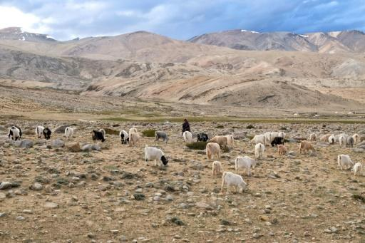 The shaggy creatures that provide the yarn are being pushed out of their grazing lands in the tussle between China and India