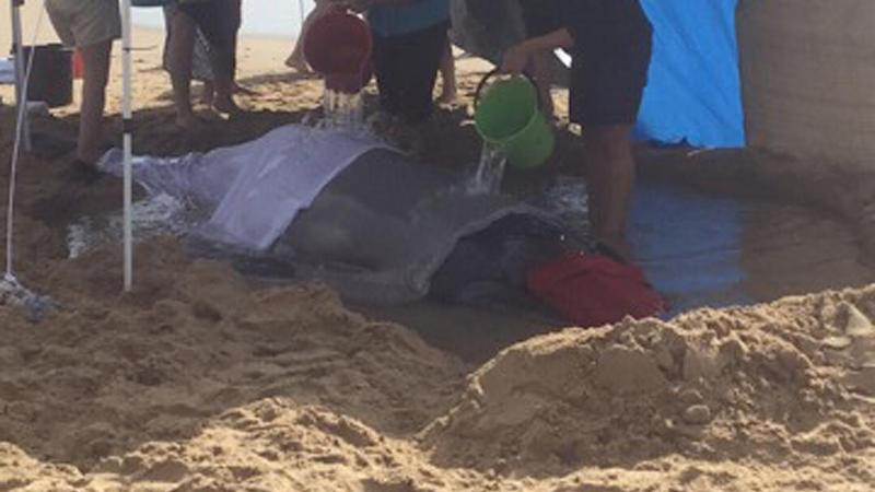 People are working to save a beached humpback whale calf on the Sunshine Coast.