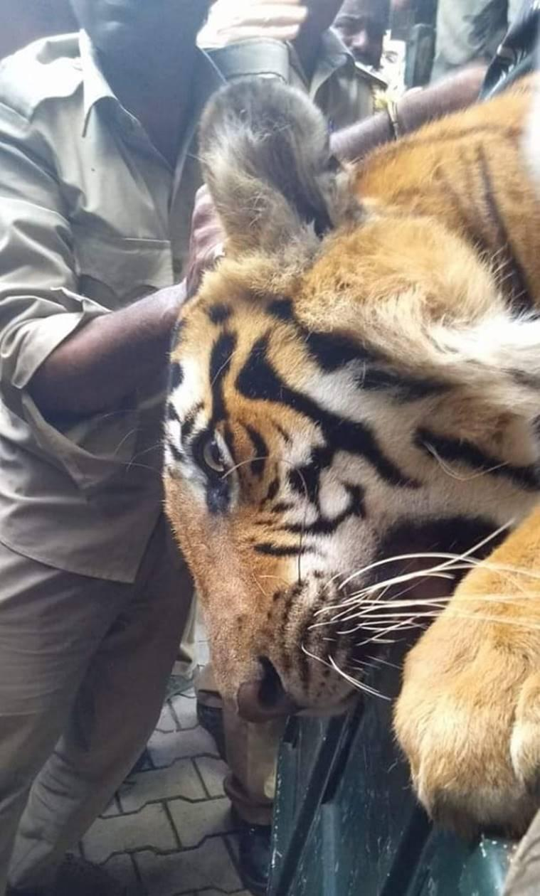 Bandipur-tiger-caught