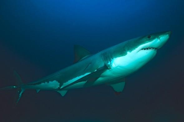 Fishermen say 'great white shark' spotted in Cornwall