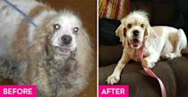 """<p>Eliza was found in Austin when she was four years old with matted fur so severe that she had to be sedated when the groomers shaved it all away. Thanks to the <a href=""""http://www.austincockerrescue.org/"""" rel=""""nofollow noopener"""" target=""""_blank"""" data-ylk=""""slk:Cocker Spaniel Rescue of Austin/San Antonio"""" class=""""link rapid-noclick-resp"""">Cocker Spaniel Rescue of Austin/San Antonio</a>, nearly three pounds of debris and fur was removed from her ears but infections caused by all the debris left her deaf. Eliza was adopted by an Austin-based attorney who has been taking her on long walks and training her with sign language.</p>"""