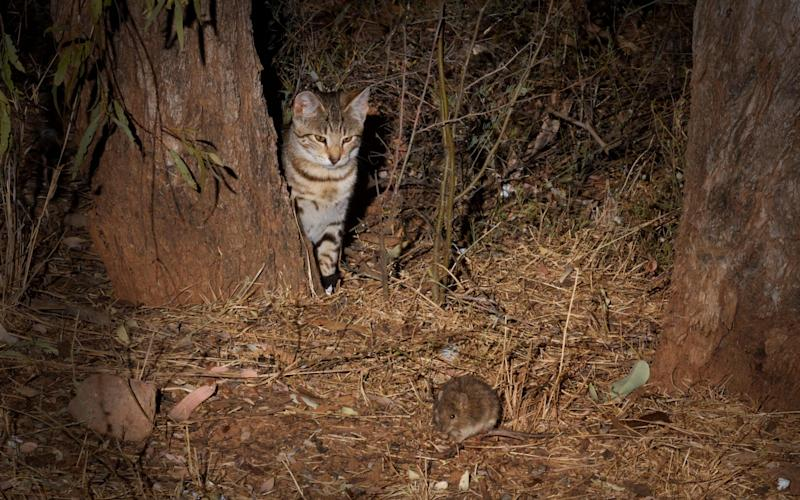 A feral can stalks a long-haired rat at night in Queensland - www.alamy.com