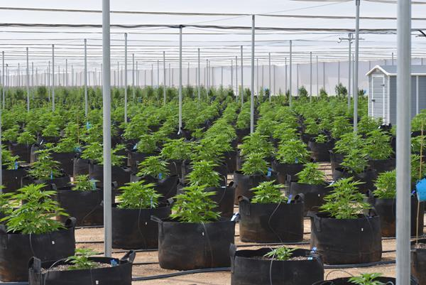 MJ Holdings Launches Second Outdoor Cannabis Grow