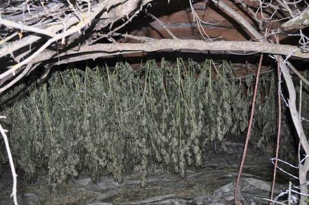Marijuana plants are seen hanging to dry in an undated handout picture taken in Colorado