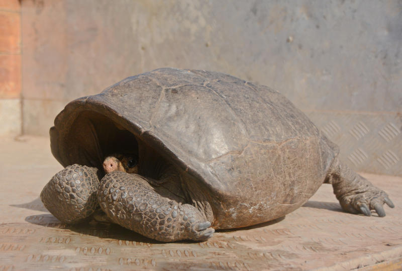 This photo released by the Galapagos National Park, a Chelonoidis phantasticus tortoise rests at Galapagos National Park in Santa Cruz Island, Galapagos Islands, Ecuador, Wednesday, Feb. 20, 2019. Park rangers and the Galapagos Conservancy found the tortoise, a species that was thought to have become extinct one hundred years ago. (Galapagos National Park via AP)