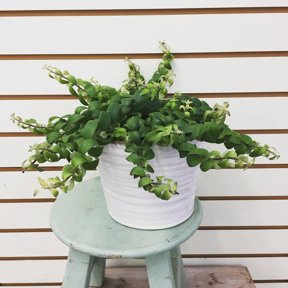 <p>The <span>Curly Lipstick Plant</span> ($7) prefers bright, diffused light and a slight period of dryness between watering. </p>
