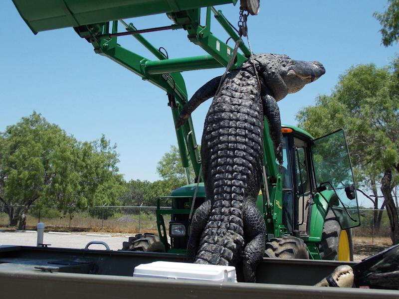 This May 7, 2013 photo provided by the Texas Parks and Wildlife Department shows a Texas state record 800-pound alligator caught during a public hunt on the James E. Daughtrey Wildlife Management Area. Wildlife officials say the 14-foot-3-inch gator could be 30 to 50 years old. (AP Photo/Texas Parks and Wildlife Department)